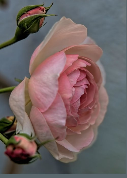 Rose Greeting Card featuring the photograph Pink Rose by Leif Sohlman