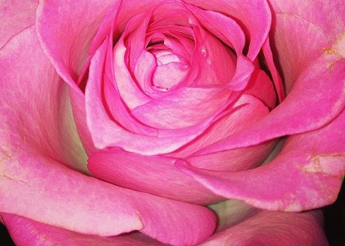 Pink Greeting Card featuring the photograph #pink #rose #pinkrose #nature by Amber Campanaro