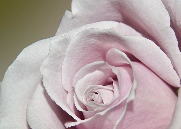 Rose Greeting Card featuring the photograph Pink Rose by Teresa Dixon