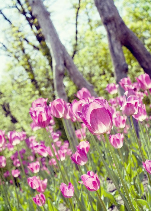 Pink Greeting Card featuring the photograph Pink Spring Tulips-light by Sabrina Naayen