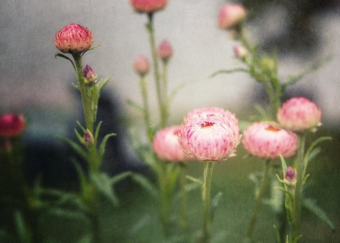 Flowers Greeting Card featuring the photograph Pink Straw Flowers After A Light Rain by Lisa Russo