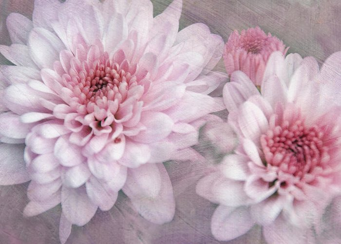 Flowers Greeting Card featuring the photograph Pink Sugar by Leda Robertson
