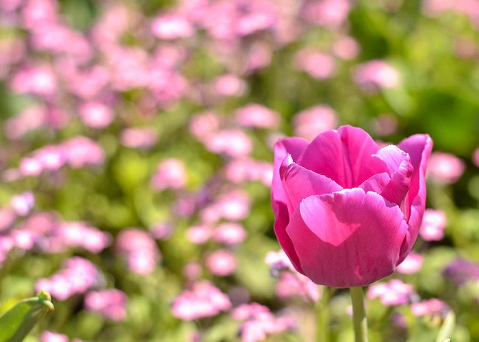 Pink Greeting Card featuring the photograph Pink Tulip Close-up by Aleksandar Mijatovic