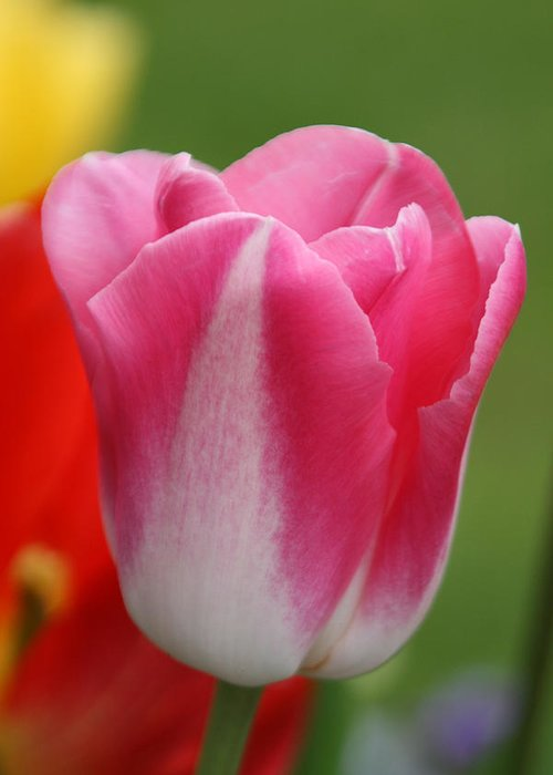 Flower Greeting Card featuring the photograph Pink Tulip by Pam Perry