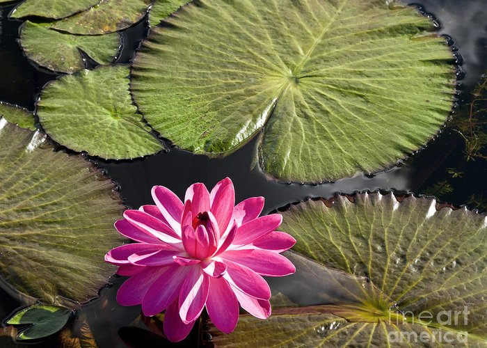 Water Llilies Greeting Card featuring the photograph Pink Water Lily II by Heiko Koehrer-Wagner