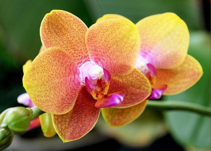 Orchid Greeting Card featuring the photograph Pink Yellow Orchid by Rona Black