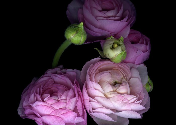 Bud Greeting Card featuring the photograph Pinkalicius Ranunculus... Pink For by Photograph By Magda Indigo