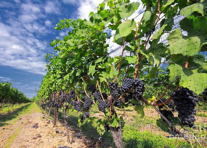 Vineyard Greeting Card featuring the photograph Pinot Noir Grapes In Niagara by Charline Xia