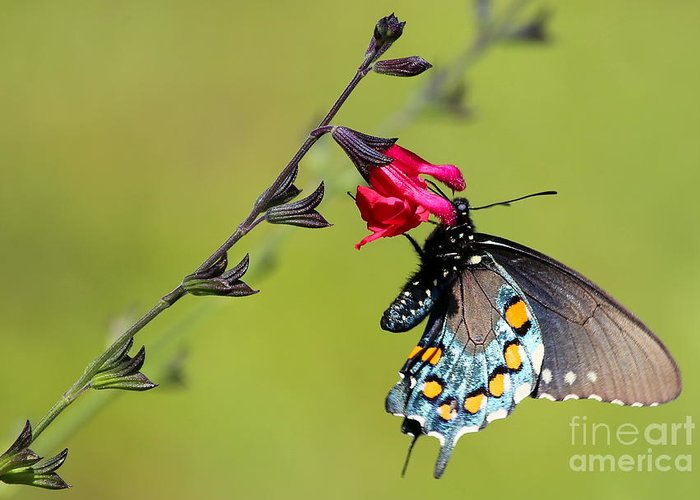 Pipevine Swallowtail Greeting Card featuring the photograph Pipevine Swallowtail by Marty Fancy