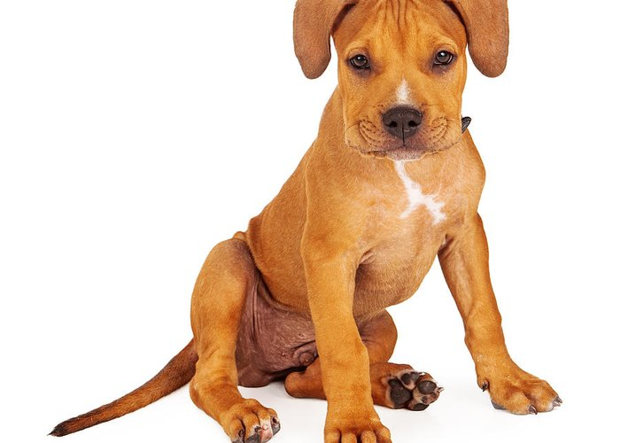 Animal Greeting Card featuring the photograph Pit Bull Puppy Fawn Color by Susan Schmitz