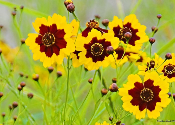 Plains Coreopsis Greeting Card featuring the photograph Plains Coreopsis by Walter Herrit