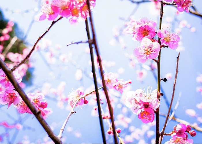 Plum Greeting Card featuring the photograph Plum Blossoms In Bloom by Marser