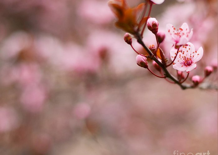 Blossoming Greeting Card featuring the photograph Plum Flower On Branch - Spring Concept by Aleksandar Mijatovic