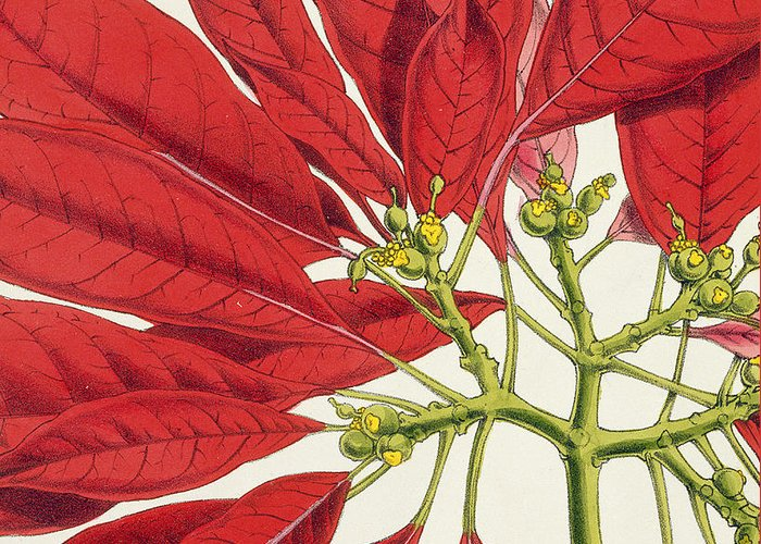 Rosea-carminata Greeting Card featuring the painting Poinsettia Pulcherrima by WG Smith