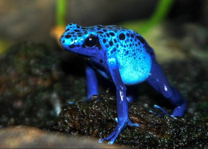 Blue Frog Greeting Card featuring the photograph Poison Blue Dart Frog by Optical Playground By MP Ray