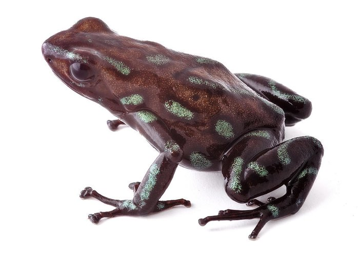 Amphibian Greeting Card featuring the photograph poison dart frog Panama by Dirk Ercken