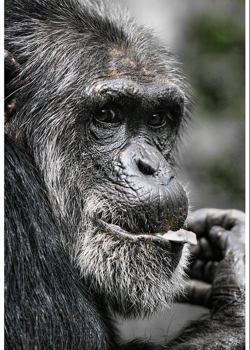 Chimpanzee Greeting Card featuring the photograph Pondering by John Fotheringham