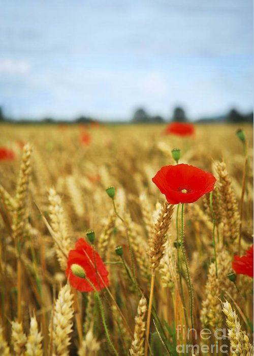 Poppy Greeting Card featuring the photograph Poppies In Grain Field by Elena Elisseeva