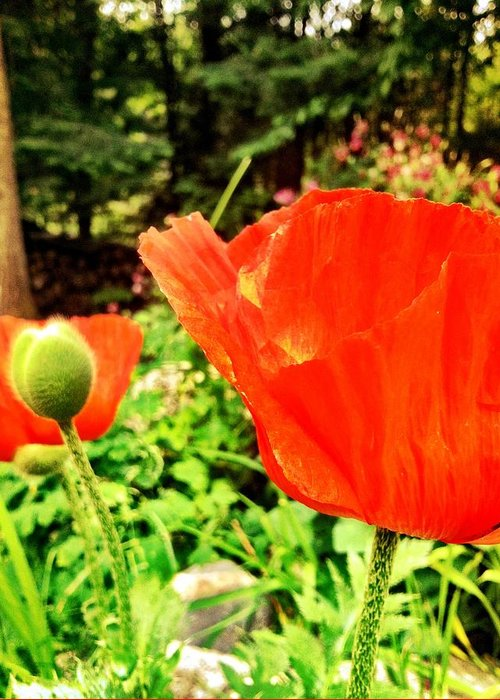 Poppy Greeting Card featuring the photograph Poppy by Ciara Stumm