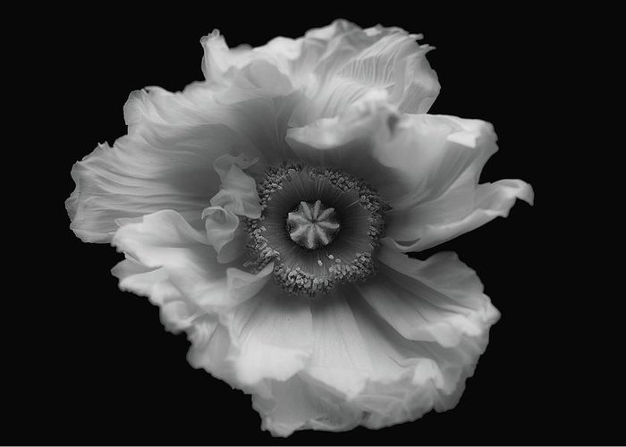 Flower Greeting Card featuring the photograph Poppy In Mono by Lotte Gr??nkj??r