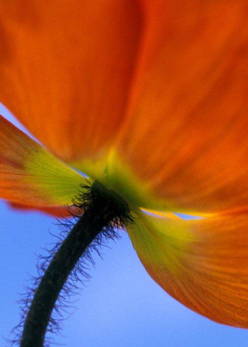 Orange Greeting Card featuring the photograph Poppy Portrait by Kathy Yates