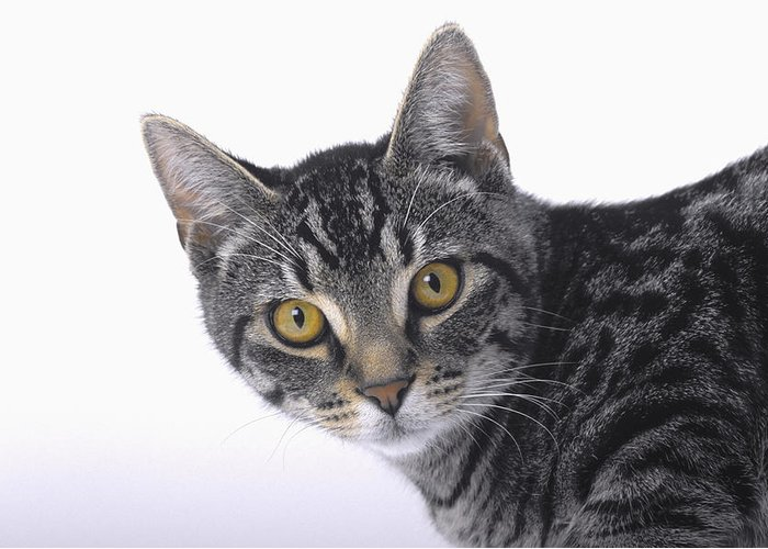 House Pet Greeting Card featuring the photograph Portrait Of A Grey Tabby Catvancouver by Thomas Kitchin & Victoria Hurst