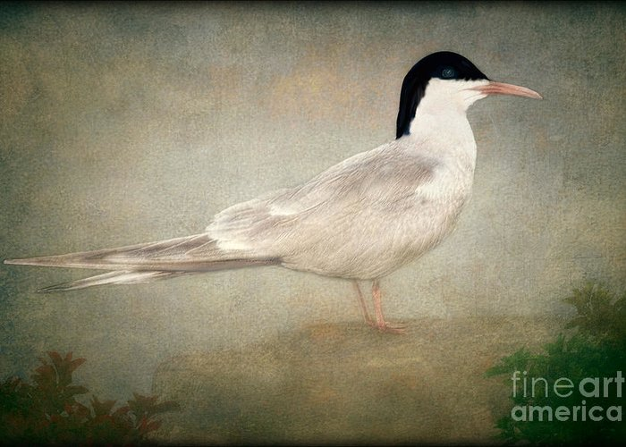 Tern Greeting Card featuring the photograph Portrait Of A Tern by Tom York Images
