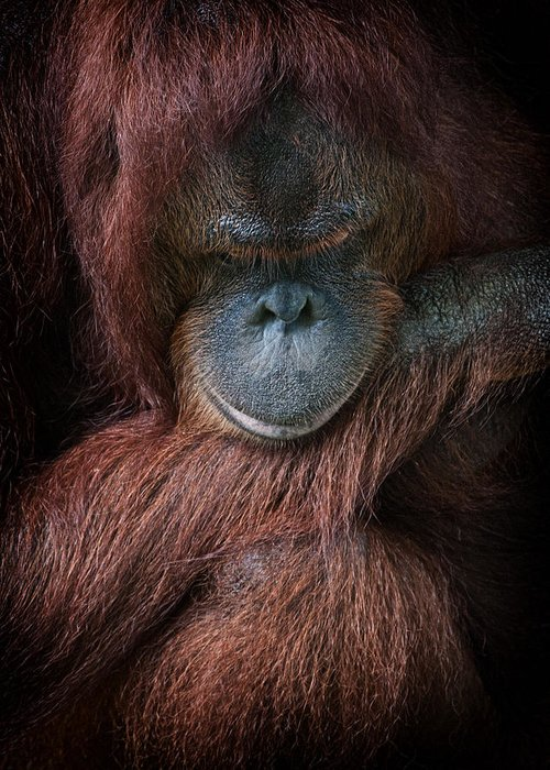 Primate Greeting Card featuring the photograph Portrait Of An Orangutan by Zoe Ferrie