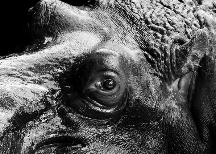 Hippo Greeting Card featuring the photograph Portrait Of Hippo In Black And White by Lukas Holas