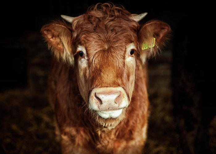 Domestic Animals Greeting Card featuring the photograph Portrait Of Young Cow by T-lorien