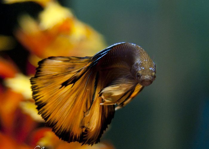 Betta Greeting Card featuring the photograph Pose For The Camera by Rachel Trudgian