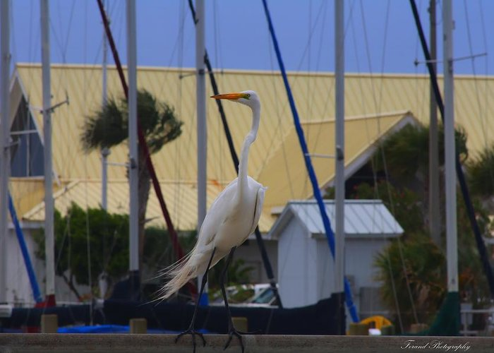 Egret Greeting Card featuring the photograph Posing Egret by Debra Forand