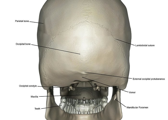 Posterior View Of Human Skull Anatomy Greeting Card For Sale By