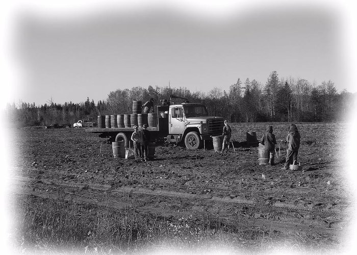 Potato Harvest Greeting Card featuring the photograph Potato Harvest 5 by Gene Cyr