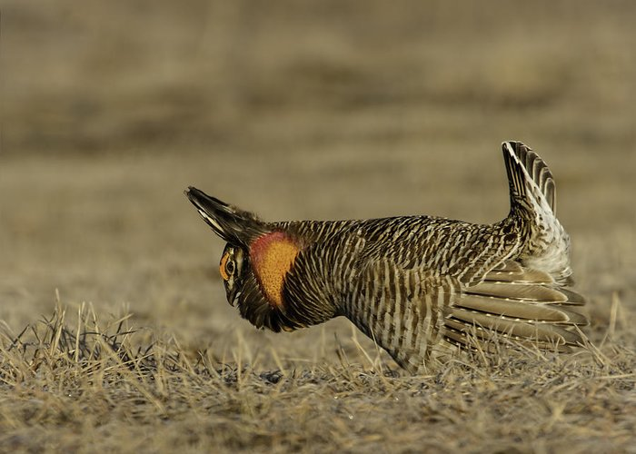 Prairie Chicken Greeting Card featuring the photograph Prairie Chicken-9 by Thomas Young