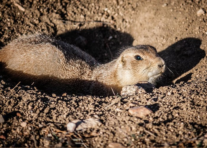 Colorado Greeting Card featuring the photograph Prairie Dog by Karen Saunders