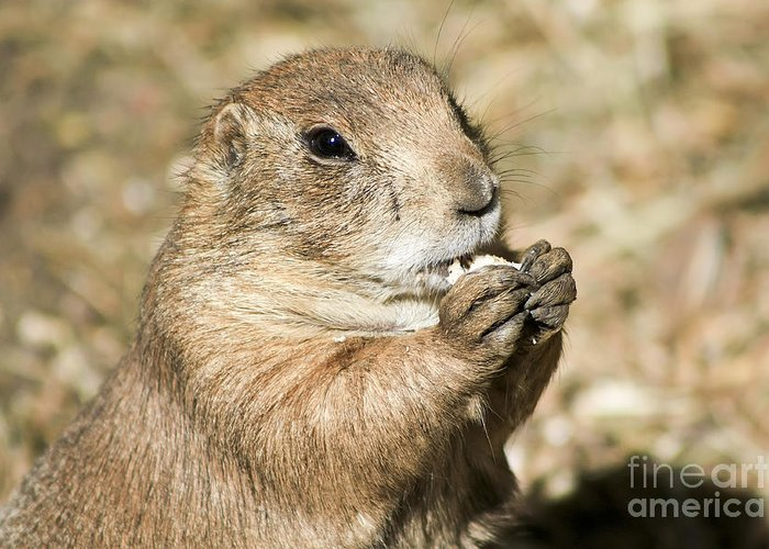 Animal Greeting Card featuring the photograph Prairie Dog by Teresa Zieba
