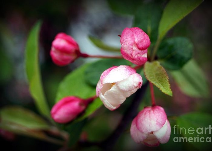 Apple Blossoms Greeting Card featuring the photograph Preparing To Bloom by Trish H