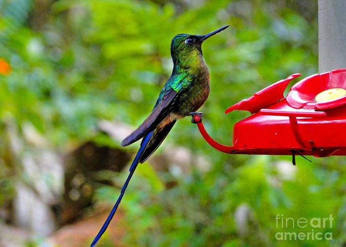 Blue Greeting Card featuring the photograph Pretty Blue-tailed Hummer In Mindo by Al Bourassa
