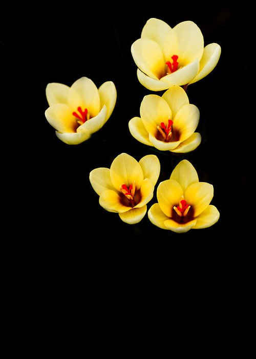Crocus Greeting Card featuring the photograph Promise by Rebecca Cozart