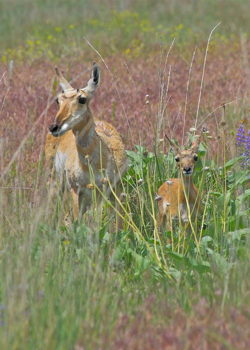 Pronghorn Greeting Card featuring the photograph Pronghorn Doe And Fawn by Karon Melillo DeVega