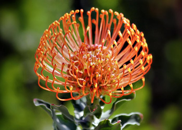 Protea Greeting Card featuring the photograph Protea - One Of The Oldest Flowers On Earth by Christine Till