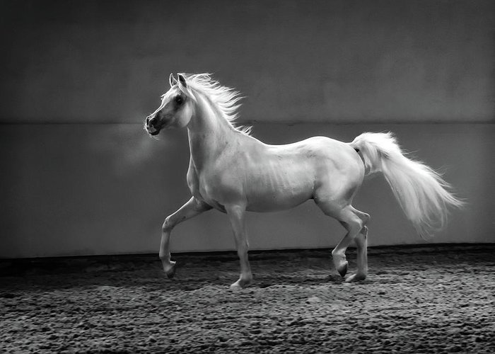Horse Greeting Card featuring the photograph Proud Arabian Horse - Stallion In by Kerrick