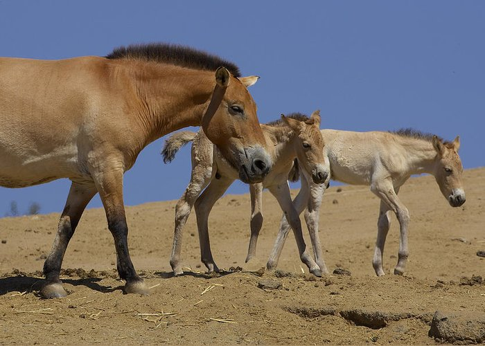 Feb0514 Greeting Card featuring the photograph Przewalskis Horse With Two Foals by San Diego Zoo