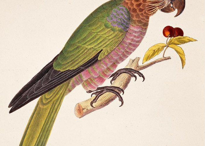 Bird; Parrot; Exotic; Colourful; Bright; Feathers; Plumage; Perched; Perch; Branch; Study; Drawing; Ornithology; Ornithological; Brazilian; South American Greeting Card featuring the painting Psittacus Accipitrinus by German School