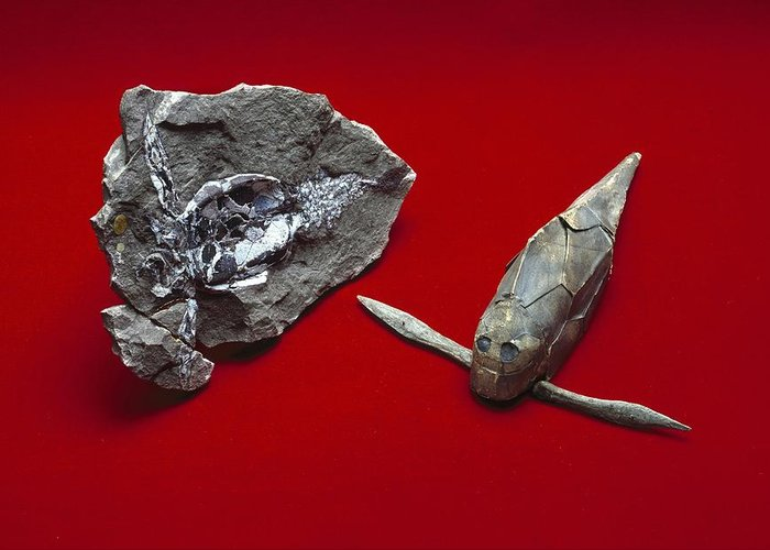 Pterichthyodes Greeting Card featuring the photograph Pterichthyodes, Fish Fossil by Science Photo Library