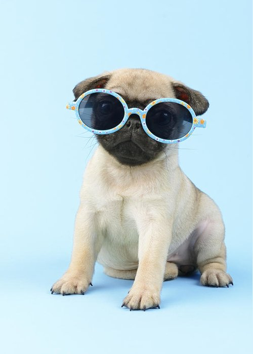 Pug Greeting Card featuring the photograph Pug Cool by Greg Cuddiford