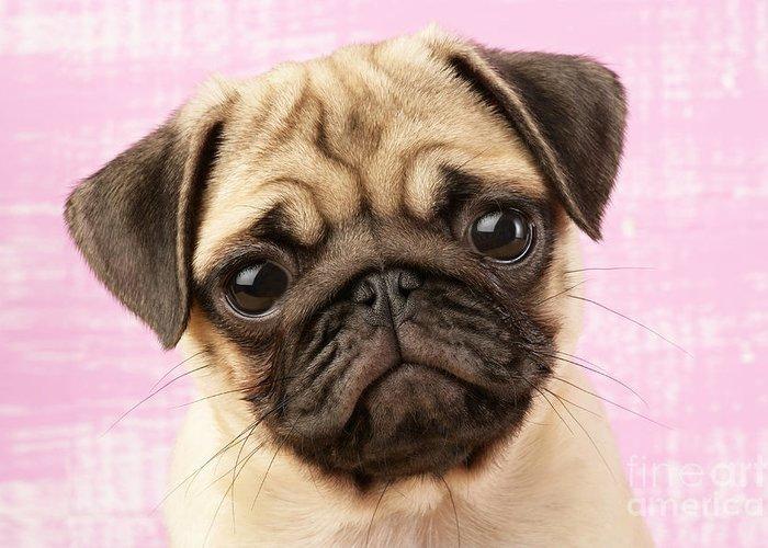 Puppy Greeting Card featuring the digital art Pug Portrait by Greg Cuddiford