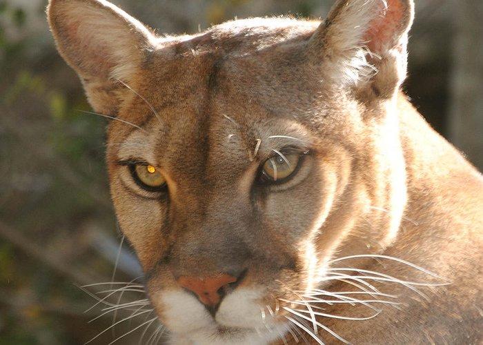 Puma Greeting Card featuring the photograph Puma Closeup by DiDi Higginbotham