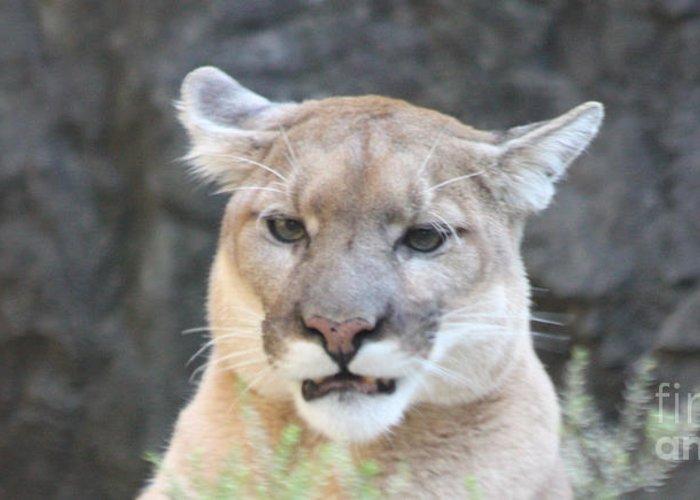 Puma Head Shot Greeting Card featuring the photograph Puma Head Shot by John Telfer